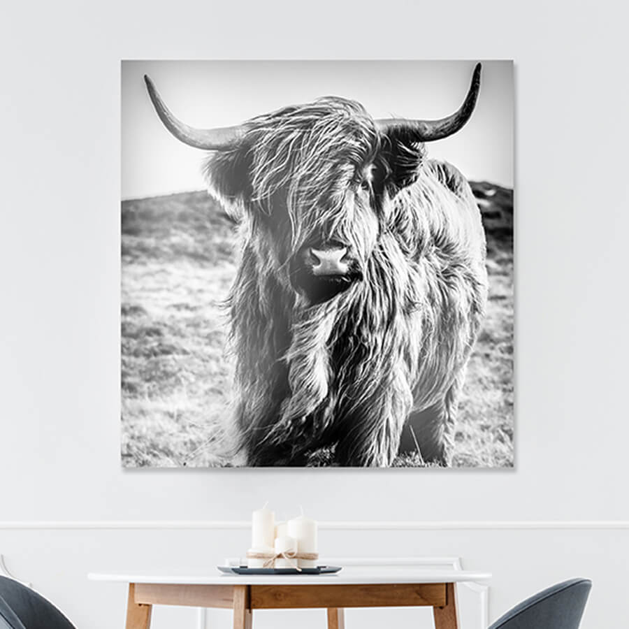 Photo sur Aluminium Vache Highland