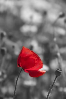 Poppy in zwart-wit