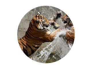 Bataille du Tigre