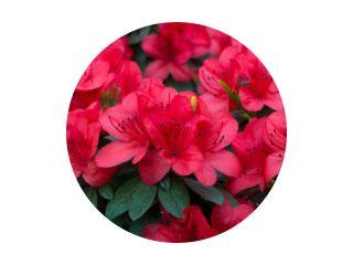 floraison printanière luxuriante fleurs d& 39 azalée rhododendron frais